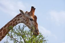 Free Giraffe Feeding Stock Images - 16583474