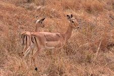 Free Impala Antelope Royalty Free Stock Photography - 16583677