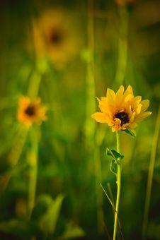 Free Gold Wildflower Stock Photos - 16584103