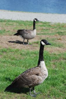 Free Close-up Canadian Goose Stock Photography - 16584912