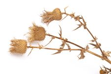 Dry Herbs Stock Images