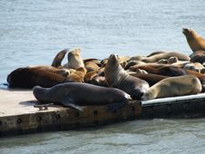 Seals Resting On Dock Royalty Free Stock Photos