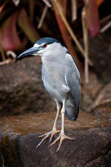 Free Black-Crowned Night Heron Royalty Free Stock Image - 16586416