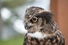 Free Great Horned Owl In Profile Royalty Free Stock Photos - 16586718
