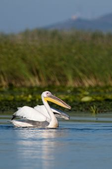 Free White Pelican Taking Off Stock Photos - 16586733