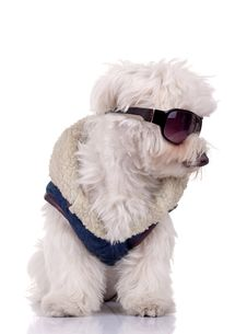 Free Well Dressed Bichon Maltese Stock Photo - 16586770