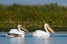 Free White Pelicans Pair Stock Image - 16586771