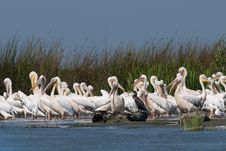 Free White Pelicans Colony Royalty Free Stock Images - 16587129