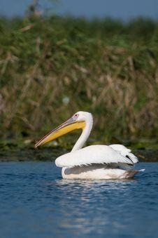 White Pelican (Pelecanus Onocrotalus) Royalty Free Stock Photos