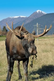 Free Bull Moose Royalty Free Stock Photos - 16587658