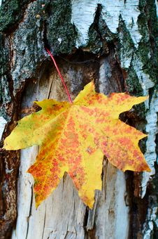 Free Golden-yellow Maple Leaf On Bark Of Birch Tree . Stock Photos - 16589013