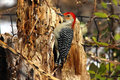Free Red-bellied Woodpecker Stock Image - 16593051