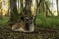 Free Fallow Deer (Dama Dama) Royalty Free Stock Photo - 16597185