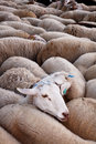 Free Sheeps In Flock Stock Photos - 16597453