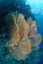 Free Giant Sea Fan Stock Photography - 16599862