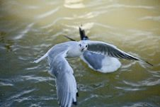 Free Seagull Fishing Royalty Free Stock Photos - 16591388