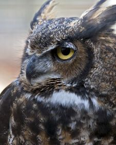 Great Horned Owl Stock Photos