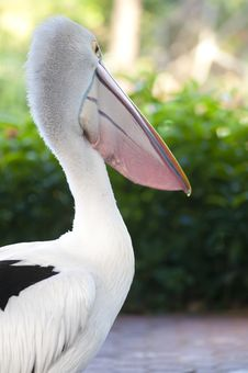 Free Pelican Royalty Free Stock Photography - 16593207
