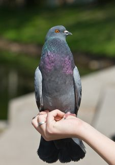 Free The Pigeon Stock Photo - 16593770