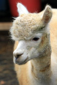 Free Newly Born Alpaca Royalty Free Stock Image - 16593946