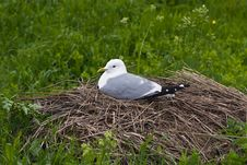 Free Seagull On The Nest Royalty Free Stock Photo - 16594175
