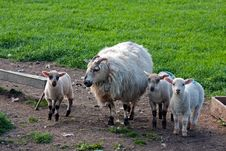 Free Sheep With Lambs Stock Photography - 16594472