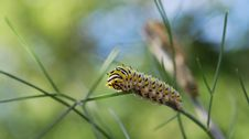 Swallowtail Butterfly Caterpillar Stock Image