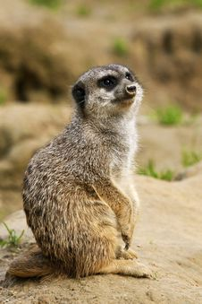 Free Meerkat Royalty Free Stock Photos - 16596398