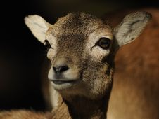 Free European Mouflon (Ovis Orientalis Musimon) Royalty Free Stock Photos - 16596508