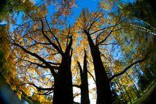 Free Autumn Trees Stock Image - 16597001
