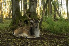 Free Fallow Deer (Dama Dama) Royalty Free Stock Photo - 16597185