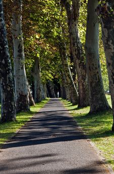 Sycamore Trees Royalty Free Stock Photography