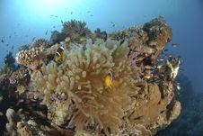 Red Sea Anemonefish Royalty Free Stock Photos