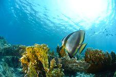 Free Circular Batfish Stock Image - 16599891