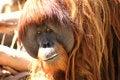 Free Orang-utan Watching Royalty Free Stock Photos - 1663948