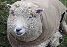 Free Sheep On A Farm Stock Photography - 1660132