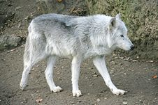 Free Wolf 2 Royalty Free Stock Photos - 1661288