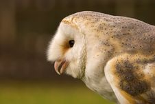 Free Barn Owl Stock Images - 1661474