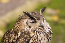 Free Eagle Owl Portrait Royalty Free Stock Images - 1661579