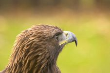 Free Focussed Eagle Royalty Free Stock Images - 1661719