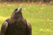 Free Golden Eagle Looking Up Royalty Free Stock Images - 1661769