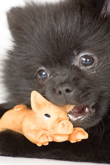 Free The Puppy Of The Spitz-dog Royalty Free Stock Photo - 1661855