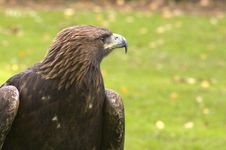 Free Profile Of A Golden Eagle. Royalty Free Stock Images - 1661919