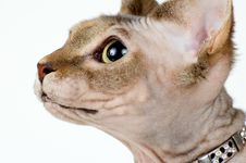 Free The Canadian Sphynx Stock Photography - 1661982