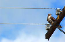Free Hawk Stock Photo - 1662500