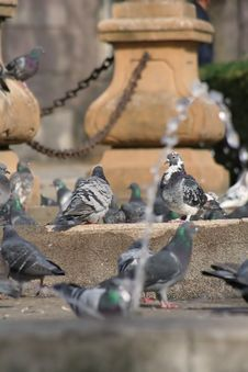 Free Pigeons In The City Royalty Free Stock Photo - 1662555