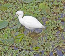 Free Little Blue Heron Juvenile Royalty Free Stock Photo - 1662675