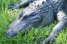Crocodile Resting Royalty Free Stock Photography