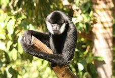 Free Monkey On A Branch Stock Images - 1663934