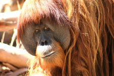 Free Orang-utan Watching Royalty Free Stock Photos - 1663948